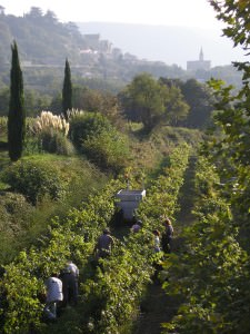 Harvest at La Canorgue, with Bonnieux in the distance