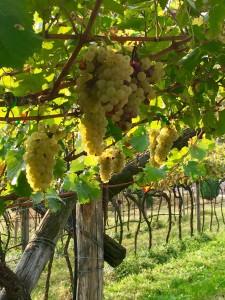 Chardonnay grapes grapes hang on the vines at the Villa Margon vineyards
